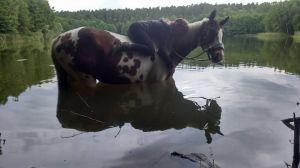 Schecke im Wasser